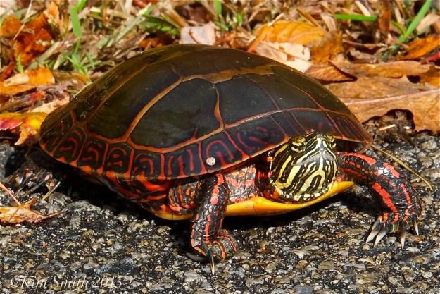 Painted Turtle Niles Pond ©Kim Smith 2015