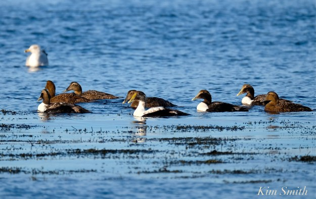 Common Eider juveniles Kim Smith