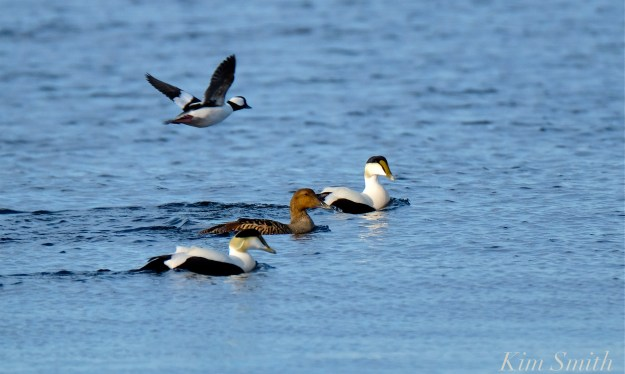 Common Eiders Bufflehead Kim Smith