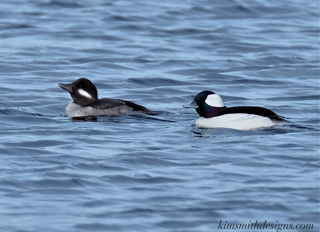 Male female bufflehead Massachusetts kimsmithdesigns.com 2016