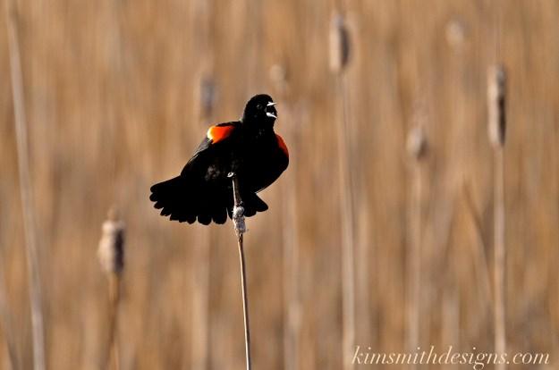 Red-winged Blackbird Male kimsmithdesigns.com