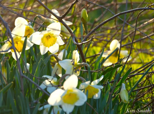 Daffodils Kim Smith 2016