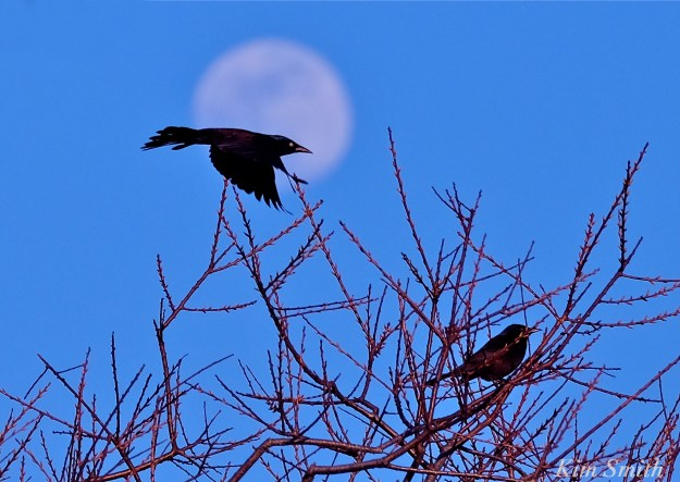 Blackbird moonlight Grackle c Kim Smith