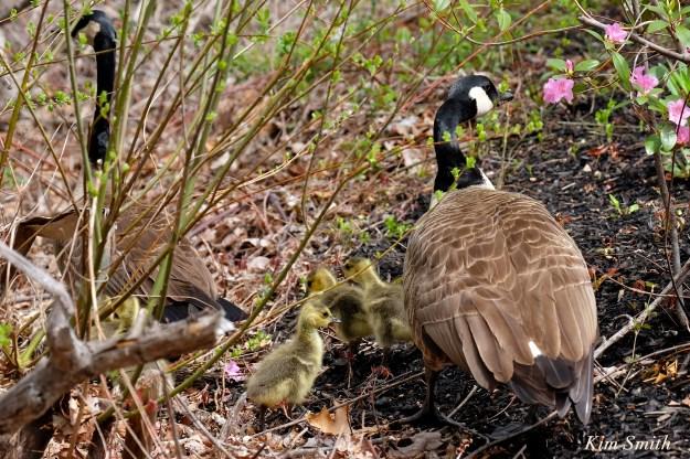canada geese goslings  c Kim Smith