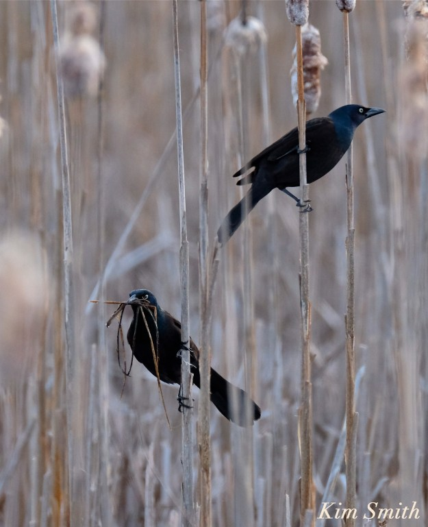 Common Grackle nesting copyright Kim Smith