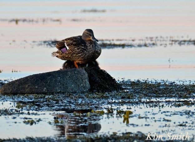 Female mallard ducklings -2 copyright Kim Smith
