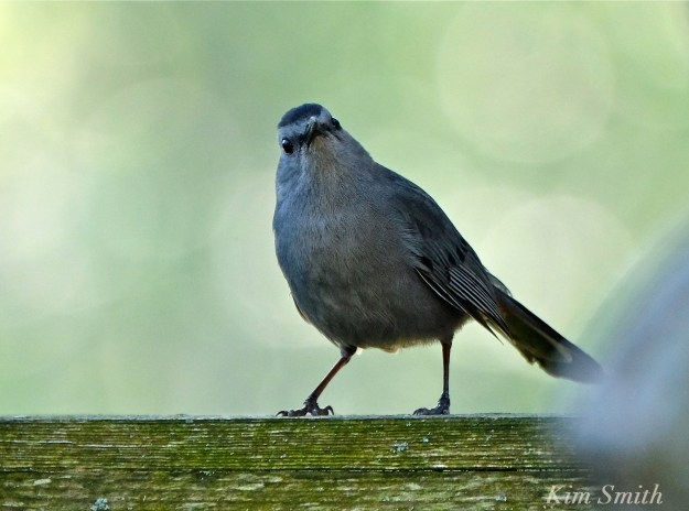 Gray Catbird   copyright Kim Smith