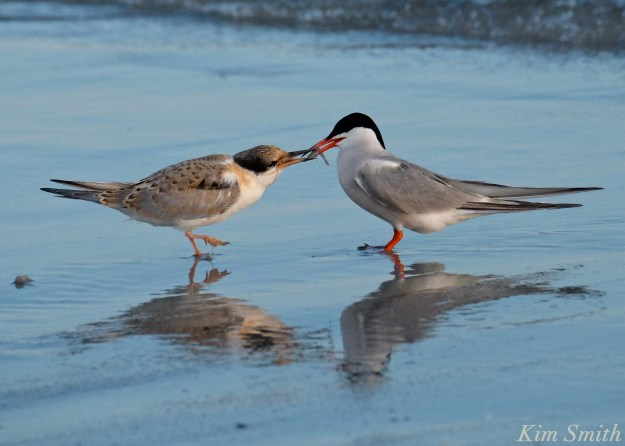 Common Tern Fledgling feeding -1 copyright Kim Smith
