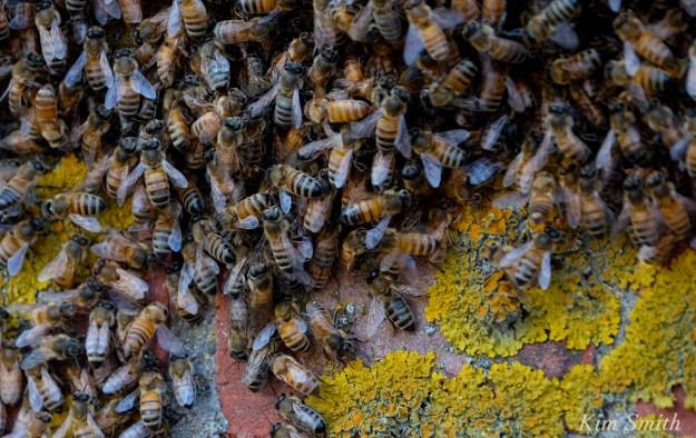 Honey Bee Swarm -2 copyright Kim Smith