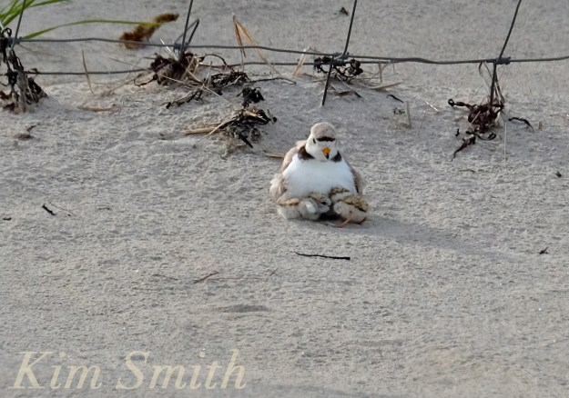 Piping Plovers chicks nestlings babes copyright Kim Smith 6-11-16