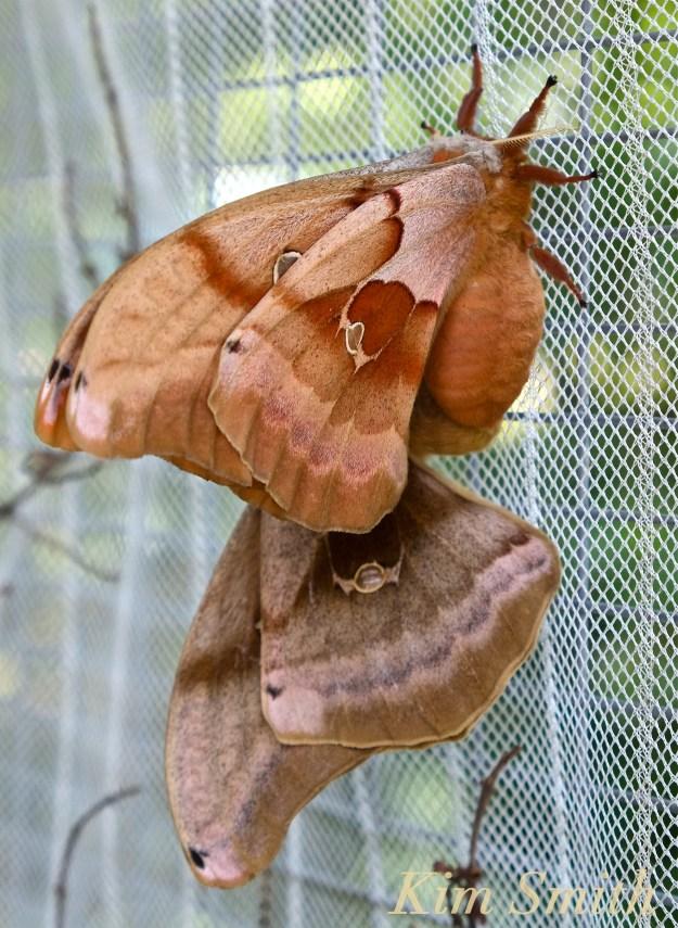 Polyphemus Moths Mating copyright Kim Smith