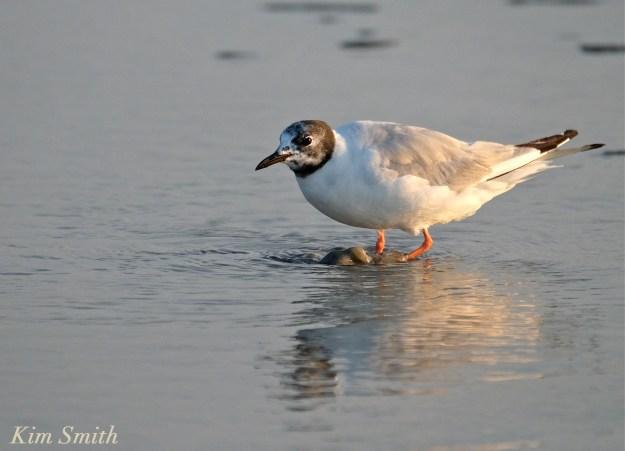 Bonaparte's Gulls Gloucester Massachusetts -5 copyright Kim Smith