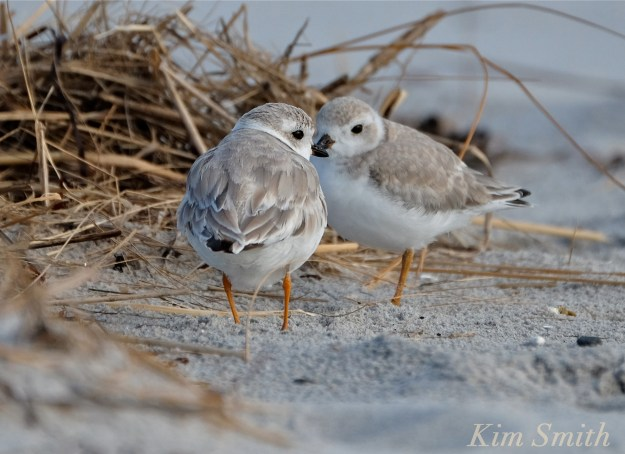Piping Plover Fledglings copyright Kim Smith .