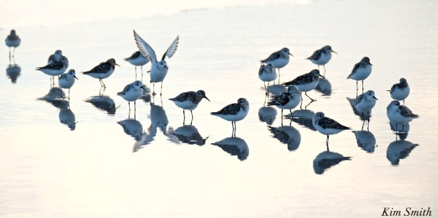 Sandpipers copyright Kim Smith