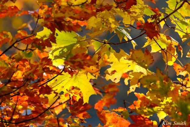 fall-foliage-maple-leaves-copyright-kim-smith