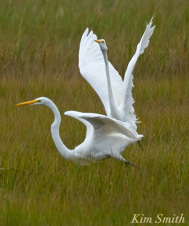 great-egret-battle-ardea-alba-1-copyright-kim-smith-copy