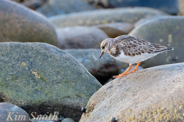 ruddy-turnstone-rockport-massachusetts-copyright-kim-smith