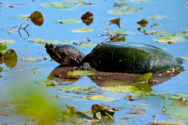 snapping-turtle-niles-pond-gloucester-copyright-kim-smith