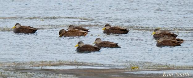 american-black-ducks-copyright-kim-smith