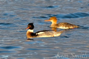 male-female-red-breasted-mergansers-copyright-kim-smith