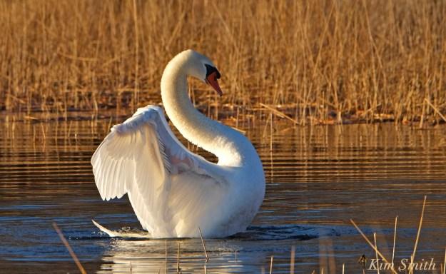 mute-swan-mr-swan-niles-pond-gloucester-ma-copyright-kim-smith