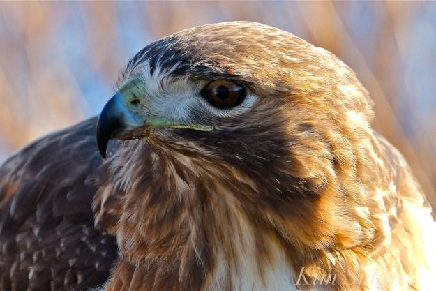 red-tailed-hawk-eating-prey-gloucester-massachusetts-21-copyright-kim-smith