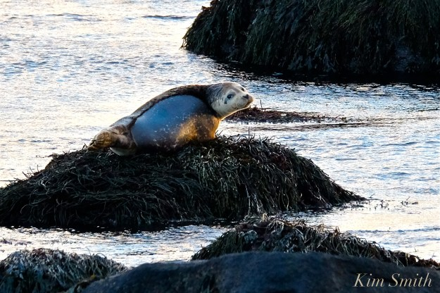 new-years-day-sunrise-eastern-point-gloucester-2017-brace-cove-seal-1-copyright-kim-smith