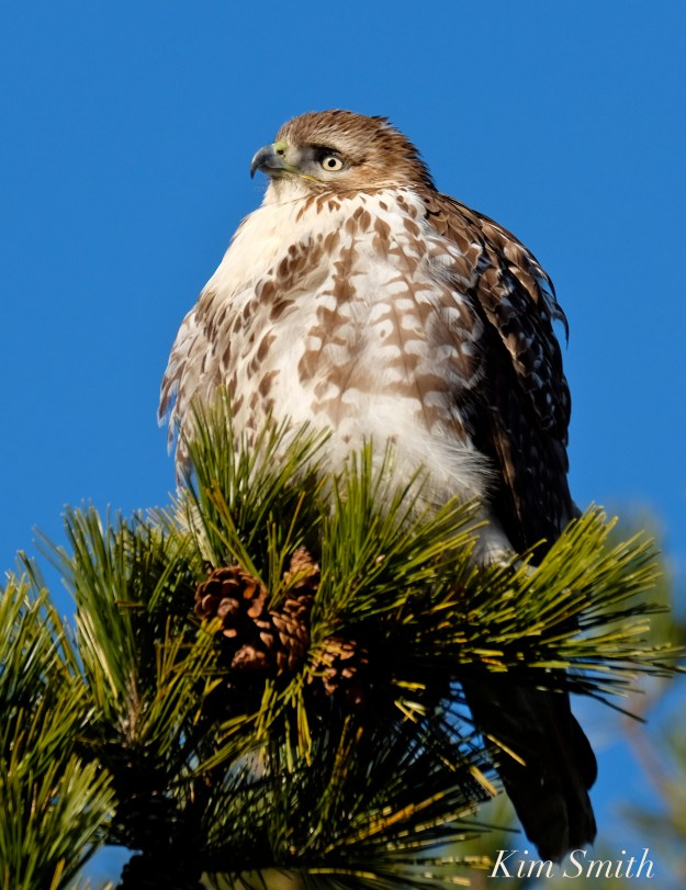 red-tailed-hawk-2-copyright-kim-smith