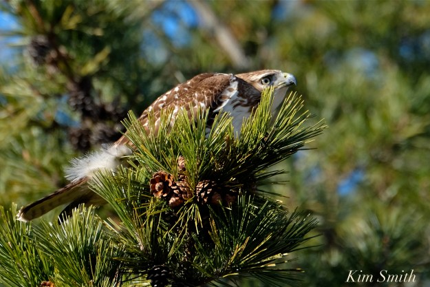 red-tailed-hawk-copyright-kim-smith
