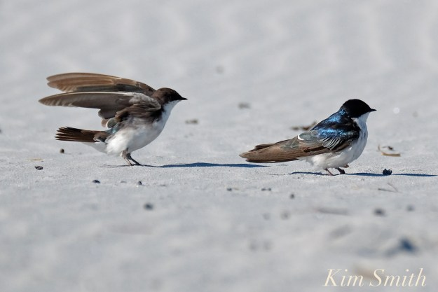 tree-swallows-gloucester-massachusetts-11-copyright-kim-smith