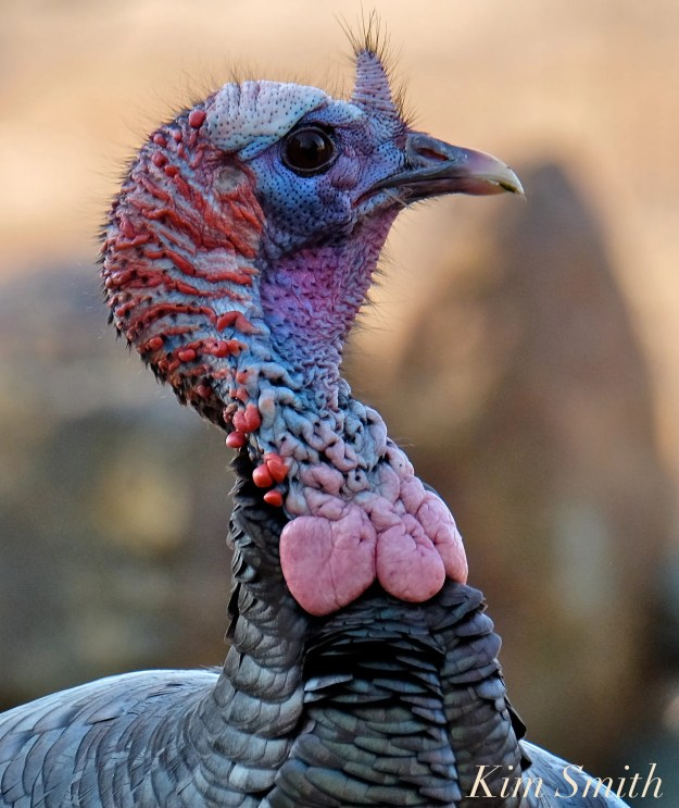 eastern-wild-turkey-male-snood-carnuckles-gloucester-ma-2-copyright-kim-smith