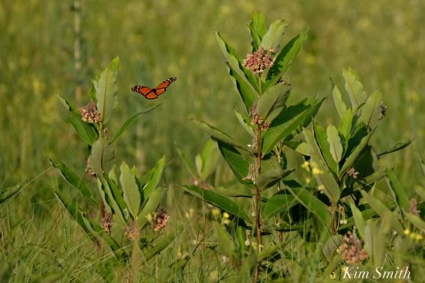 Monarch Flying Common Milkweed Good Harbor Beach dune copyright Kim Smith