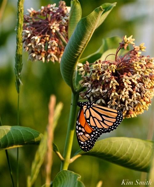 Monarch nectaring Common Milkweed Good Harbor Beach dune -1 copyright Kim Smith