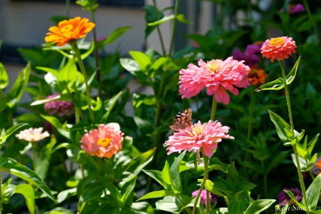 Painted Lady Butterfly Zinnia Patch Kim Smith