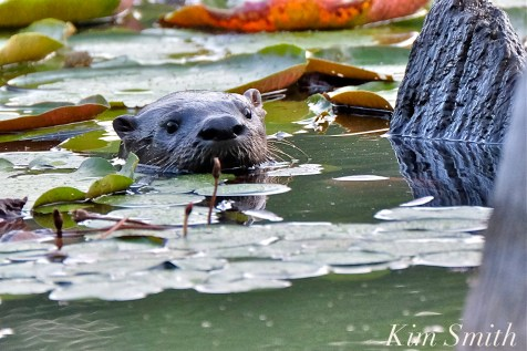 North American River Otter Massachusetts Gloucester -5 copyright Kim Smith