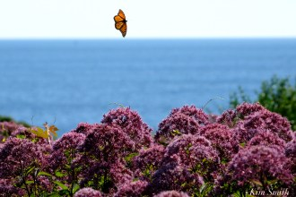Monarch Butterfly Joe-pye Wildflower -2 copyright Kim Smith