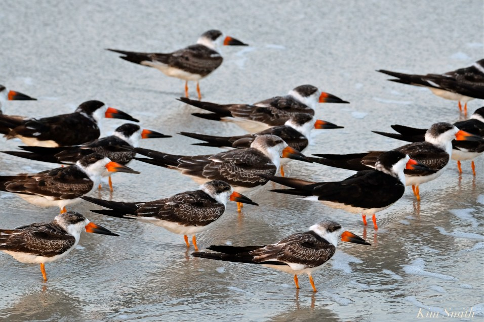 BLACK SKIMMERS Cape May -4 copyright Kim Smith