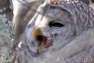barred-owl-strix-varia-yawning-copyright-kim-smith