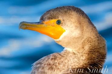 Double-crested Cormorant Juvenile Rockport Harbor copyright Kim Smith