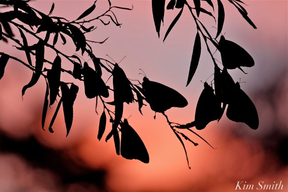 monarch-silouettes-at-sunset-copyright-kim-smith
