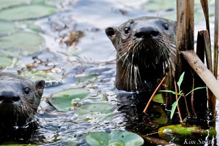 north-american-river-otter-massachusetts-gloucester-8-copyright-kim-smith