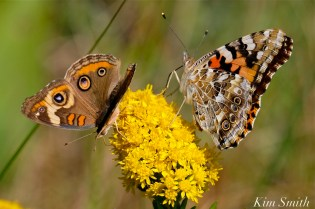 painted-lady-common-buckeye-seaside-goldenrod-gloucester-harborwalk-copyright-kim-smith