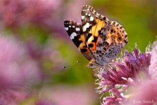 painted-lady-joe-pye-wildflower-7-copyright-kim-smith