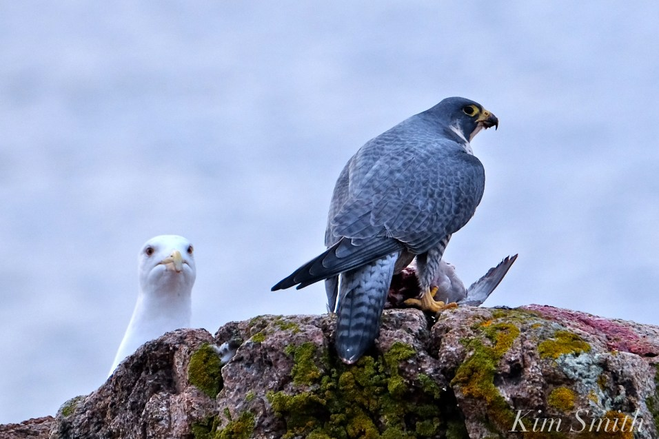 peregrine-falcon-eating-a-bird-seagull-gloucester-macopyright-kim-smith