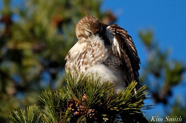 Red-tailed Hawk preening copyright Kim Smith