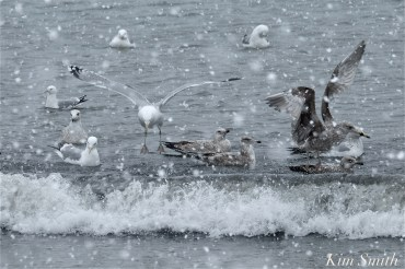 Seagulls in the Snow copyright K