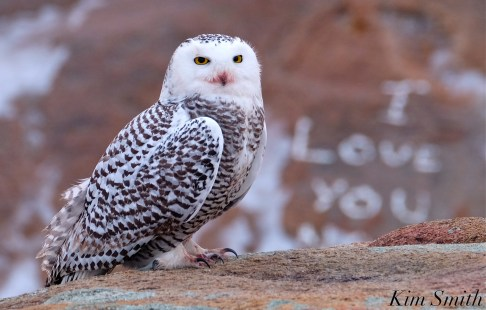 Snowy Owl Bubo scandiacus Backshore Gloucester MA copyright Kim Smith