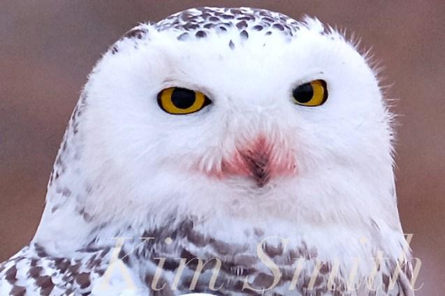Snowy Owl Closeup EYEsBubo scandiacus Backshore Gloucester MA copyright Kim Smith