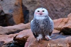 Snowy Owl Taking a Bath Hedwig Gloucester MA-1 copyright Kim Smith