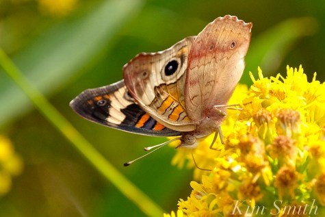Common Buckeye Butterfly Seaside Goldenrod Gloucester MA copyright Kim Smith